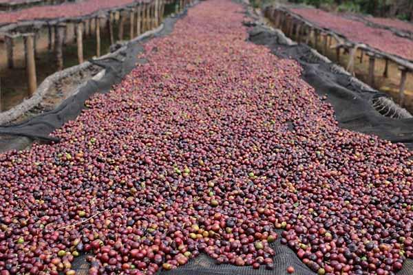 cà phê phơi khô tự nhiên