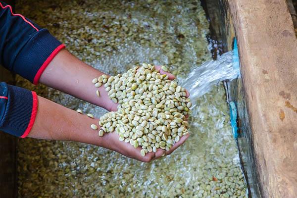 phương pháp chế biến cà phê ướt