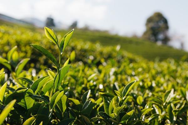 lá trà hấp thu tinh khí