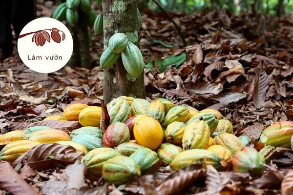 nâng tầm giá trị hạt cacao